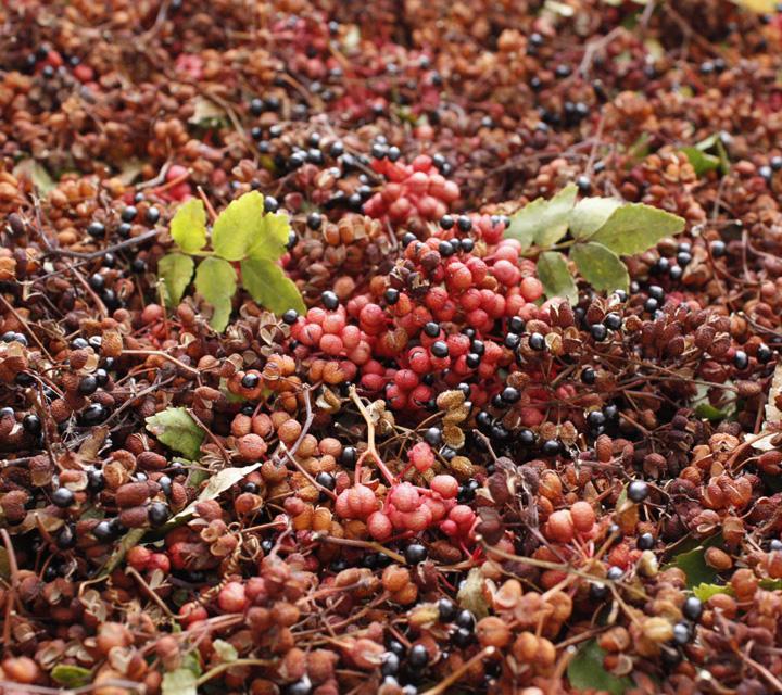 収穫された山椒